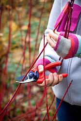 Gathering material for  hardwood cuttings from Cornus sanguinea - dogwood - in winter