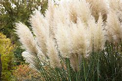 Cortaderia selloana 'Pumila'. Pampas grass
