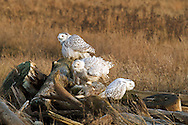 A group of Snowy Owls (Bubo scandiacus) preparing for an evening flight at Boundary Bay in Delta, British Columbia, Canada.<br /> <br /> This photograph is a composite of two images taken a few seconds apart to include the lower right owl in a more interesting posture.