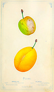 Yellow Pershore, also known as the fondly named 'Yellow Egg Plum' is a traditional, old fashioned cooking variety. Heavy and reliable crops of large, yellow fruits that have yellow juicy flesh; sweet, sharp and delicious. Perfect for cooking into desserts as well as being the ideal bottling plum. from Dewey's Pocket Series ' The nurseryman's pocket specimen book : colored from nature : fruits, flowers, ornamental trees, shrubs, roses, &c by Dewey, D. M. (Dellon Marcus), 1819-1889, publisher; Mason, S.F Published in Rochester, NY by D.M. Dewey in 1872