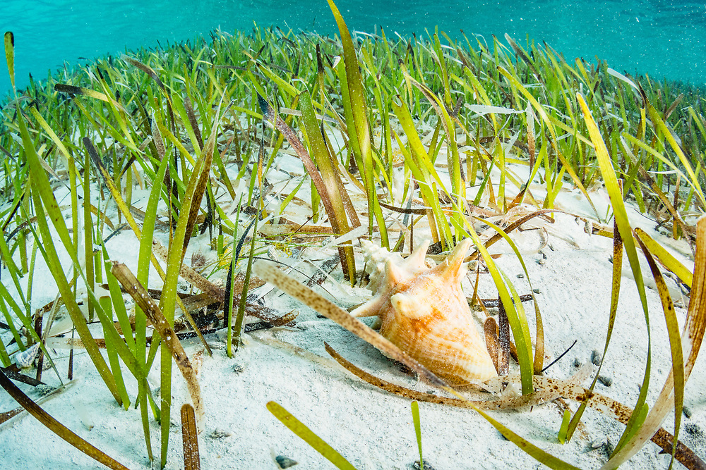 A juvenile queen conch (Lobatus gigas) eats the algae growning on seagrass (Thalassia testudinum) blades. Image made off Eleuthera, Bahamas.