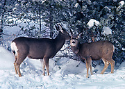 Mule Deer, Odocoileus hemionus, doe licking her fawn's ear, Lodgepole Pine forest in winter, Yellowstone National Park, Wyoming.