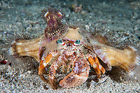 Anemone Hermit Crab.  This animal attaches anemones to its adopted home (shell), to ward off potential predators<br /> <br /> Shot in Indonesia