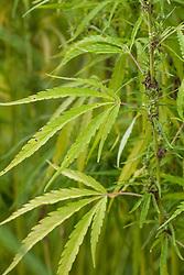 Hennep, Kemp, Cannabis sativa