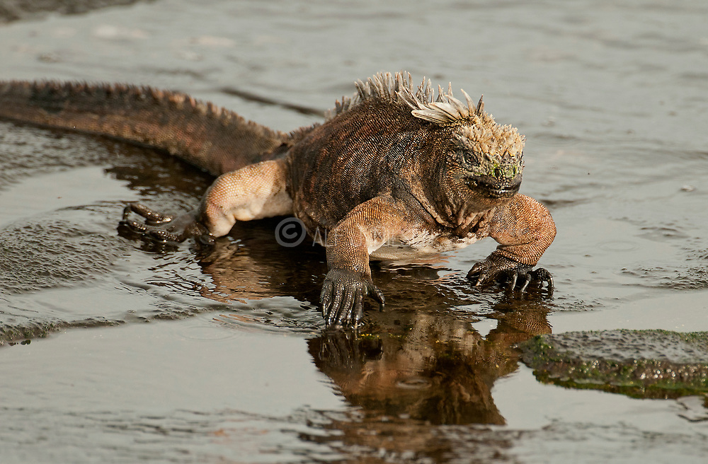 Marine Iguana, Amblyrhynchus cristatus, searching for food from the lava rocky beach at James Bay, Santiago, Galapagos.