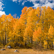 Fall in Hope Valley CA this aspen grove stands about 300 yards from Highway 88. This image was taken in 2005 when Hope Valley had one of the most colorful autumn's in years.