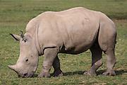 Baby White Rhinoceros, Ceratotherium simum in the Cotswold Wildlife Park, Oxfordshire, UK