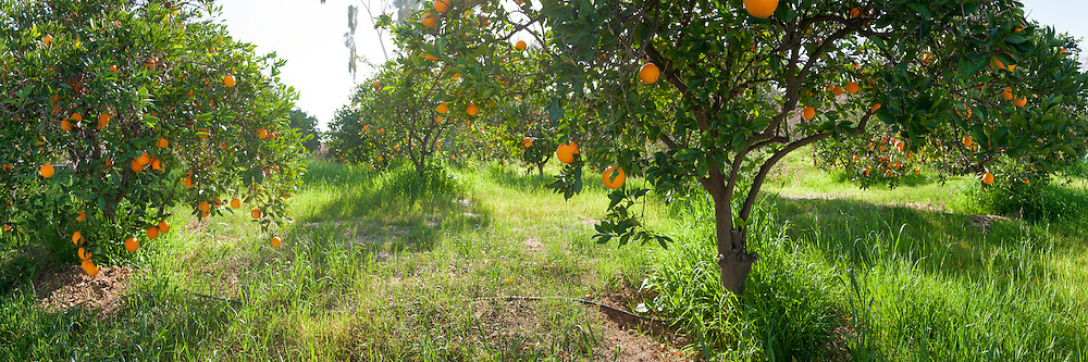 Photo panorama of an orange grove in California's Inland Empire. Super hi-res for wall mural installations. Super hi-res for panoramic wall mural installations up to 30 ft.