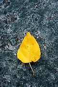 Aspen leaf on rock
