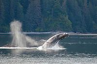 Humpback whales breeching near Morris Reef in Chatham Strait in Southeast Alaska.