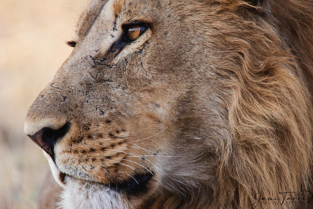 A close-up portrait of a male lion (Panthera Leo) in morning light, Savuti, Chobe National Park, Botswana,Africa