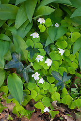 Common wood sorrel and ivy. Oxalis acetosella
