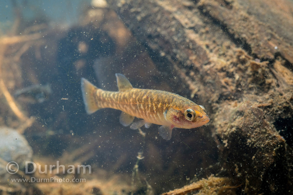 Olympic mudminnow (Novumbra hubbsi), Washington state's only endemic fish. Photographed near the Chehalis River in Washington.