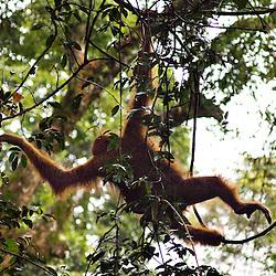 Wild Orangutangs, Sumatra Indonesia. Wild orangutangs, Mount Leuser National Park, North Sumatra, Indonesia.