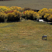 Horses grazing in valley of Rocky mountains. Fall.  Montana.