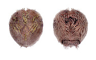 Purple Heart Urchin - Spatangus purpureus