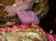 Bonaire red reef crab in purple shell