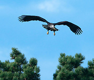 A Bald Eagle (Haliaeetus leucocephalus) spreads its wings while approaching a pine tree to land at Fir Island, Skagit River Delta, Puget Sound, Washington state, USA.