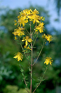 PERFORATE ST JOHN'S-WORT Hypericum perforatum (Clusiaceae) Height to 80cm. Upright, hairless perennial with 2-lined stems. Found in grassland, scrub and open woodland, usually on calcareous soils. FLOWERS are 2cm across, the deep yellow petals often with black marginal spots (Jun-Sep). FRUITS are dry capsules. LEAVES are oval with translucent spots; in opposite pairs. STATUS-Widespread; commonest in the S.