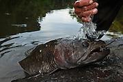 Haimara (Aymara)<br /> (Hoplias aimara)<br /> Rewa River<br /> Rainforest<br /> GUYANA. South America