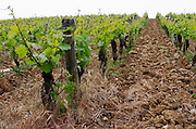 Old vine. Domaine Henry Pelle, Menetou Salon, Loire, France