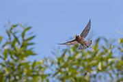 A Cedar Waxwing (Bombycilla cedrorum) flies past Willow trees on Smith Island in Everett, Washington.