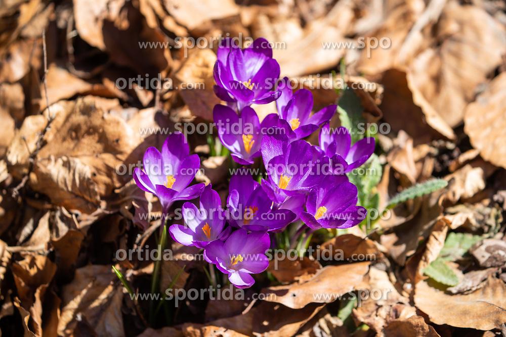 THEMENBILD - der Frühlings-Krokus (Crocus vernus), auch Frühlings-Safran genannt, ist eine Pflanzenart aus der Gattung der Krokusse (Crocus) innerhalb der Familie der Schwertliliengewächse (Iridaceae), aufgenommen am 29. März 2019, Assling, Österreich // The spring crocus (Crocus vernus), also called spring saffron, is a plant species of the genus crocus (Crocus) within the family of the irises (Iridaceae) on 2019/03/29, Assling, Austria. EXPA Pictures © 2019, PhotoCredit: EXPA/ Stefanie Oberhauser