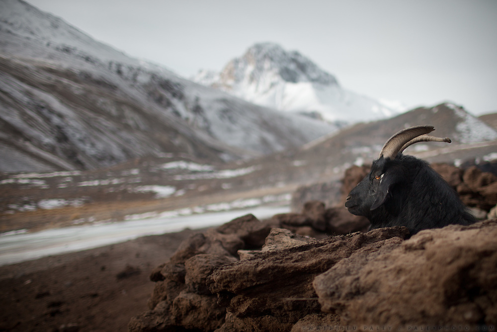 A goat at Langar, a Wakhi winter shepherd settlement..Trekking up to the Little Pamir with yak caravan over the frozen Wakhan river.