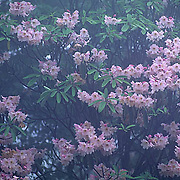 China, Blooming pink Rhododendrons in fog. Yellow mountains.