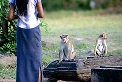 Sri Lankan & Toque Macaque