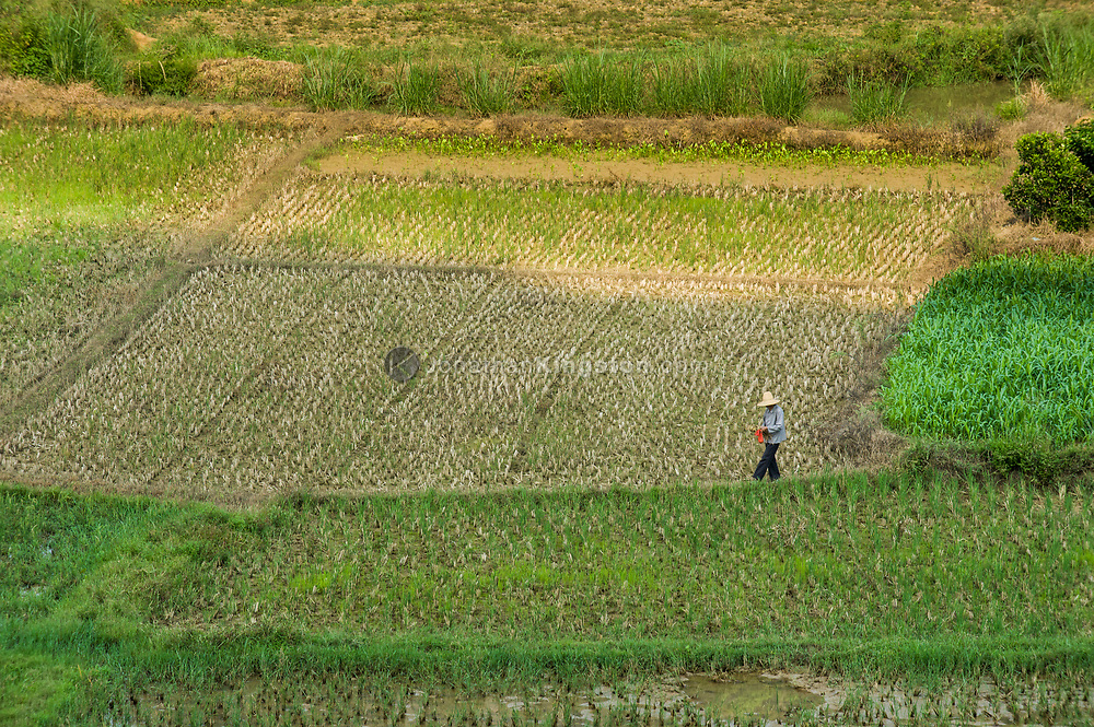 High angle view of a farmer with a red scarf walking in a rice paddy near Yangshuo, China.