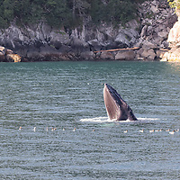 Humpback whale feeds in the protected waters of Kenai Fjords National Park, Alaska