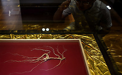 A wild ginseng is displayed at a ginseng processing plant in Ji'an, northeast China's Jilin Province, June 11, 2015. China has a long history of cultivating ginseng, which is considered to be nutritious and to have medicinal value in traditional Chinese medicine. Considered as the world's largest ginseng production area, Jilin produces about 85 percent of China's total ginseng output and 70 percent of the world's output. More than 98 percent of ginseng in Jilin is currently cultivated, not grown in the wild. EXPA Pictures © 2015, PhotoCredit: EXPA/ Photoshot/ Wang Haofei<br /> <br /> *****ATTENTION - for AUT, SLO, CRO, SRB, BIH, MAZ only*****