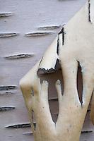 Peeling bark from silver birch tree (Betula pendula), Sarek National Park, Laponia World Heritage Site, Sweden