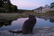 Cat sitting on a wall at dusk along the tidal Goyen River on 24th September 2021 in Pont Croix, Brittany, France. Brittany is a peninsula, historical county, and cultural area in the west of France, covering the western part of what was known as Armorica during the period of Roman occupation. It became an independent kingdom and then a duchy before being united with the Kingdom of France in 1532 as a province governed as a separate nation under the crown.