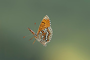 Glanville Fritillary Butterfly, Melitaea cinxia, UK,  Nymphalidae, in flight, high speed photographic technique, free flying, natural