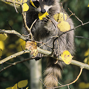 Raccoon (Procyon lotor) baby feeding on aspen leaves during the fall. Captive Animal