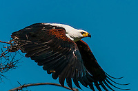 African Fish Eagle in flight, near Kwara Camp, Okavango Delta, Botswana.