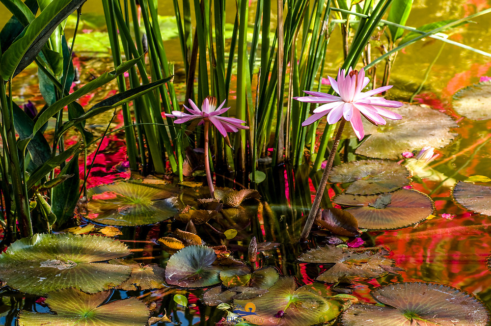 Water lillies.