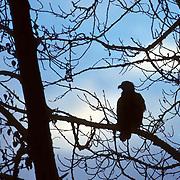 Bald Eagle (Haliaeetus leucocephalus).  A lone bird perched in tree along river.