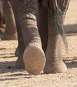 African Elephant feet walking, Amboseli National Park, Kenya