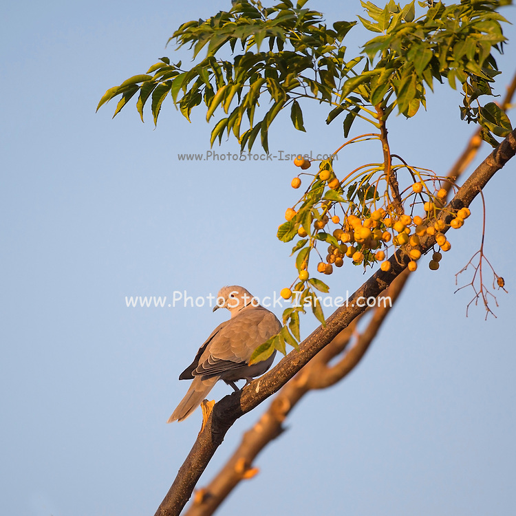 Eurasian Collared Dove, (Streptopelia decaocto) on a branch. This bird is found throughout Europe and Asia from Japan to Scandinavia. Photographed in Israel in autumn.