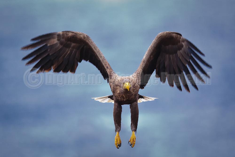 Havørn inn for landing   White-tailed Eagle prepare for landing.