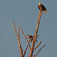 Bald Eagles (Haliaeetus leucocephalus) perch in a dead tree in Montana's Gallatin Valley near Bozeman.