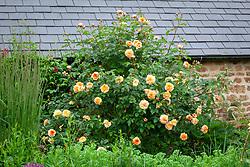 Rosa 'Port Sunlight' syn. 'Auslofty' AGM