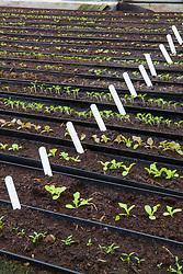 Rows of seedlings sown in gutter pipes