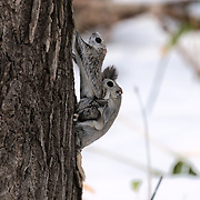 This is a pair of Japanese dwarf flying squirrels (Pteromys volans orii) engaged in copulation. This is an extended process spanning many hours, during which the male often needs to fend off rivals while engaging in repeated bouts of copulation.