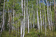 Aspens in Rawah Wilderness, Roosevelt National Forest, Colorado