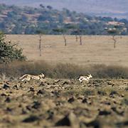 Cheetah, (Acinonyx jubatus) Masai Mara Game Reserve. Kenya, Africa. Chasing Thomson's Gazelle.