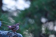 Chinese Beautiful Rosefinch, Carpodacus davidianus, bird sitting on an old statue in Beiyue Hengshan Mountain, Datong, Hunyuan County, Shanxi Province, China